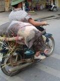 oh, le cochon !